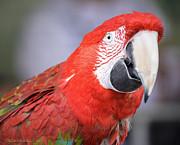 LeeAnn McLaneGoetz McLaneGoetzStudioLLCcom - Parrot Macaw