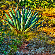 Parry's Agave Sometimes Called Century Plant Print by  Bob and Nadine Johnston