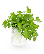 Vegetarian Posters - Parsley on white  Poster by Elena Elisseeva