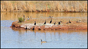 Canada Goose Art - Party Island by Betty LaRue