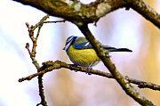 Fauna Originals - Parus major an a branch by Tommy Hammarsten