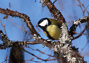 Torfinn Johannessen - Parus major
