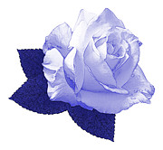 Blue And White Porcelain Posters - Pascali Rose Poster by Jane McIlroy