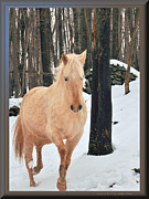 Patricia Keller Framed Prints - Paso Fino Mare Gaiting in Snow Framed Print by Patricia Keller