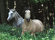 Paso Fino Horse Photos - Paso Fino Mares Pay Attention by Patricia Keller