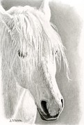 Grey Drawings Framed Prints - Paso Fino- White Horse Framed Print by Sarah Batalka