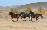 Paso Fino Horse Photos - Pasos Running by Jenn La Mana