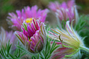 Anne Gordon - Pasque Flower