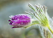 Pasque Flower Art - Pasque flower by Mircea Costina Photography