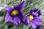 Anenome Posters - Pasque Flower Poster by Sharon  Talson