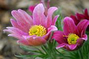Anne Gordon - Pasque Flower2