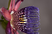 Passiflora Photo Posters - Passiflora alata - Passion Flower - Ruby Star - Ouvaca Poster by Sharon Mau