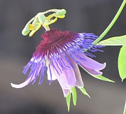 Passion Fruit Framed Prints - Passiflora amethystina Macae de Cimas Framed Print by Eric Wortman