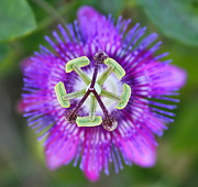 Passifloraceae Framed Prints - Passiflora Framed Print by Cathy Lindsey