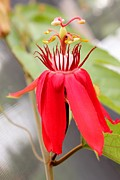 Passiflora Coccinea Print by Karinna Marvill