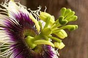 Passion Fruit Framed Prints - Passiflora Flower Framed Print by Andy Jackson