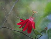 Passiflora Flower Print by Kim Hojnacki
