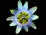 Passiflora Framed Prints - Passiflora Incarnata Framed Print by Newman Artography