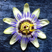 Passiflora Art - Passiflora by John Tidball