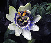 Passiflora Framed Prints - Passiflora No. 2 Framed Print by Richard Cummings