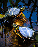 Turtles Framed Prints - Passing the day with a friend Framed Print by Bob Orsillo