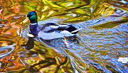 Quack Photos - Passing Through by Robert Harmon