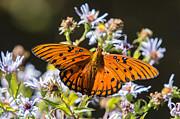 Smoky Mountains Photos - Passion Butterfly by John Haldane