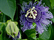 Passionflower Prints - Passion Print by Christena Carp