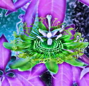 Passiflora Prints - Passion Flower 2 Print by Devalyn Marshall