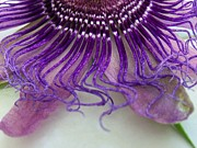 Flower Reliefs Prints - Passion Flower 2 Print by Merri aka Cathy Friesenhahn