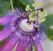 Passifloraceae Prints - Passion Flower Close Up Print by Cathy Lindsey