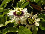 Passion Fruit Framed Prints - Passion Flower Framed Print by Karen Rowe