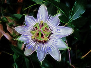 Kathie Mccurdy Prints - Passion Flower Print by Kathie McCurdy