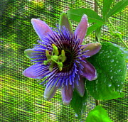Passion Framed Prints - Passion Flower Framed Print by Randall Weidner