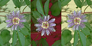 Plants From My Garden - Passion Flower Triptych by Tom Wurl