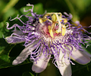 Wendy Davis - Passion Flower