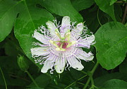 Passion Fruit Framed Prints - Passion Fruit Flower Framed Print by Ramona Edwards