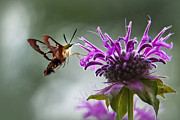 Bug Digital Art - Passion Hummingbird Clearwing Moth by Christina Rollo