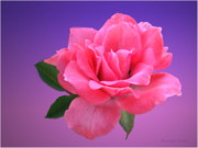 Artography Photos - Passionate Pink by Joyce Dickens