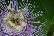 Passionflower Framed Prints - Passionflower Framed Print by Daniel Reed