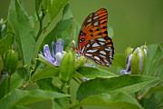 Rderder Photos - Passison Flower and Gulf Fritillary by Roy Erickson