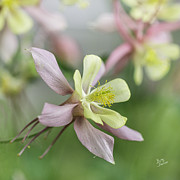 Betty Denise - Pastel Columbine Flower