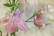 Flower Photographs Mixed Media Prints - Pastel Columbines Print by Peggy Collins