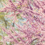 Pink Blossoms Photo Posters - Pastel Pink Flowers of Redbud Tree in Springtime  Poster by Lisa Russo