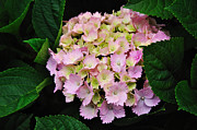 Tiny Leaves Prints - Pastel Pink Hydrangea Print by Kaye Menner