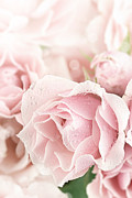 Tea Rose Posters - Pastel Pink Poster by Stephanie Frey