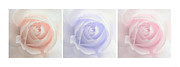 Rain Drop Prints - Pastel Roses Triptych Panel Print by Jennie Marie Schell