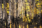 The Forests Edge Photography - Diane Sandoval - Pastoral Aspens