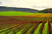 Sonoma County Vineyards. Digital Art Posters - Pastoral Vineyards of Asti Poster by Antonia Citrino
