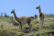 Llamas Photo Acrylic Prints - Patagonian Guanacos Acrylic Print by Michele Burgess